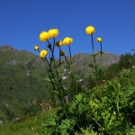 Butterblume-Trollblume