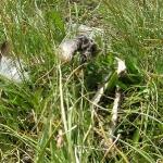 Überreste eines Murmeltiers - die Feder entlarvt den Adler als Täter