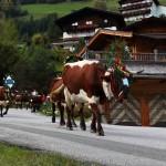 Almabtrieb Aubauer Großarl - Ankunft in Unterberg