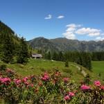 Herrlich blühen bereits die Almrosen rund um die Hirschgrubenalm.