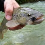 solch gesunde Fische sind in unserem Gewässer zu Hause