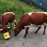 Die Kühe sind heiß auf den Inhalt dieses Eimers. Also nie die Blaubeeren in so einem Kübel sammeln und stehen lassen ...