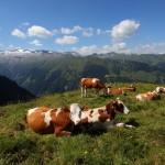 Friedliche Kühe oberhalb der Glettenalm