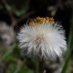 Huflattich_IV