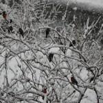 Gimpel im tiefverschneiten Garten © Christiane Mayr
