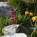 Zwischen den Geröllfeldern immer wieder die herrlichsten Blumen