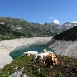 Bei der Hitze haben sich selbst die Kühe zur Ruhe gelegt