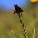 Schwarzes Kohlröschen (Orchidee)