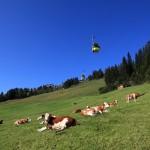 Rinder an der Familienabfahrt 3a unterhalb der Panoramabahn
