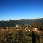 Rinder an der Familienabfahrt 3 vom Kreuzkogel