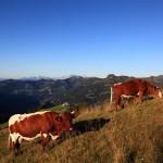 Pinzgauer Rinder am Lärchenhang