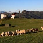 Schafe an der Sonnenbahn-Bergstation