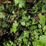 Kreuzotter - flüchtet vom Wanderweg in den üppigen Waldboden