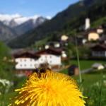 Biene vor Landeanflug auf Hüttschlag ...