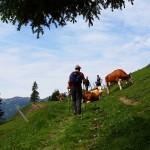 Und gleich das nächste Hinderniss: Eine Kuhherde mitten am Weg