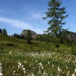 Am Rückweg von der Loosbühelalm: Wollgras überzieht die Almwiesen