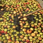 Obst waschen. Die schweren Birnen gehen unter, die wesentlich leichteren Äpfel schwimmen.