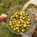 Die gewaschenen Birnen vor dem Zerkleinern.