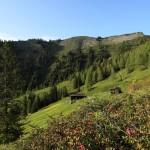 Die ersten Almrosen über der Karseggalm