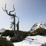 Kein Gipfelkreuz, dafür eine abgestorbene Zirbe ziert den Gipfel