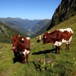 """Junge """"Pinzgauer Rinder"""" unter dem Murtörl"""