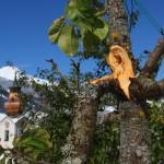 Abgebrochen - diesem Apfelbaum wurde die Last leider zu schwer