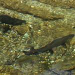 Der Talschluss von Hüttschlag ist ein begehrtes Fischwasser