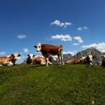 Kühe im Tappenkar 3