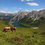 Kühe oberhalb des Tappenkarsees
