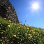 Trollblumen im Igltal 2