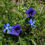2 : 2 - Stengelloser Enzian und Frühlingsenzian