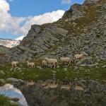 Schafe nahe der Arlscharte