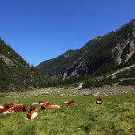 Kühe weiden dort, wo sons zeitweise meterhoch das Wasser steht
