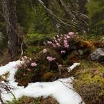 """Alpine """"Urwaldlandschaft"""" mit Zwerg-Alpenrose"""